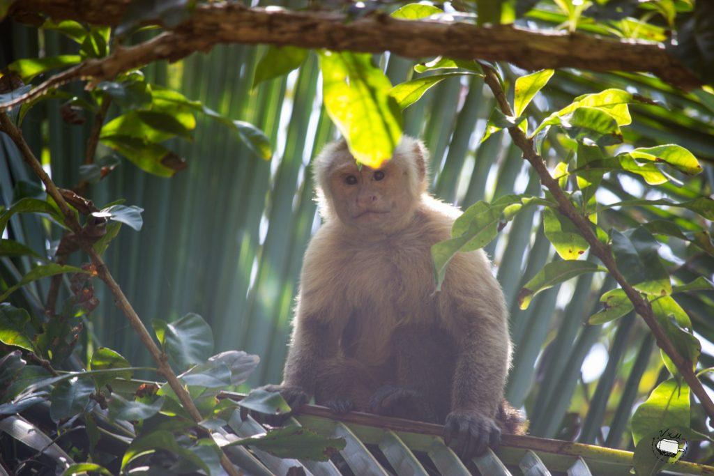 Mono tira-cocos